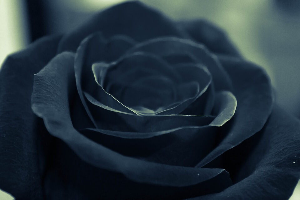 На фото изображена черная роза.