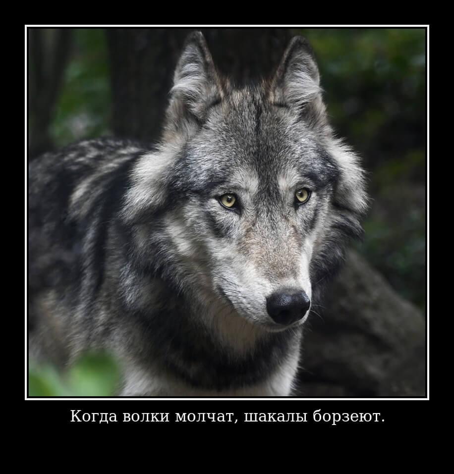 Когда волки молчат, шакалы борзеют.