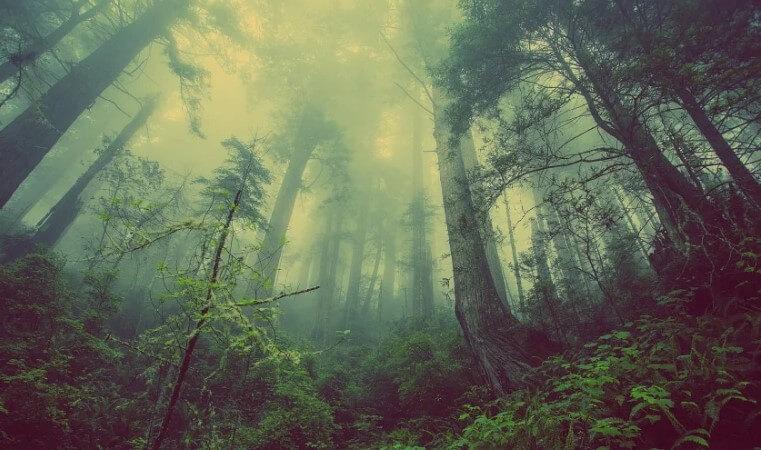 Лес в тумане.