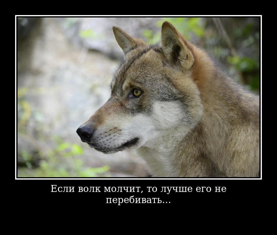 Если волк молчит, то лучше его не перебивать.