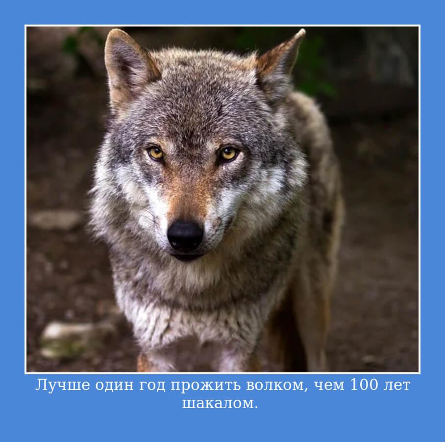 Лучше один день прожить волком, чем 100 лет шакалом.