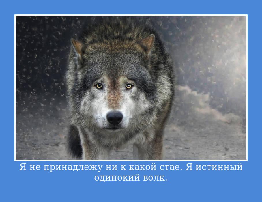 Я не принадлежу ни к какой стае. Я истинный одинокий волк.