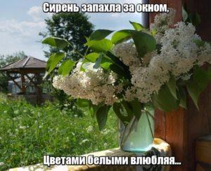 Сирень запахла за окном, Цветами белыми влюбляя...