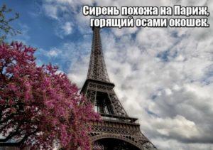 Сирень похожа на Париж, горящий осами окошек. А. Вознесенский.