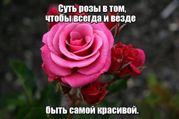 Суть розы в том, чтобы всегда и везде быть самой красивой.