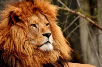 Лев. Какие есть цитаты про львов.